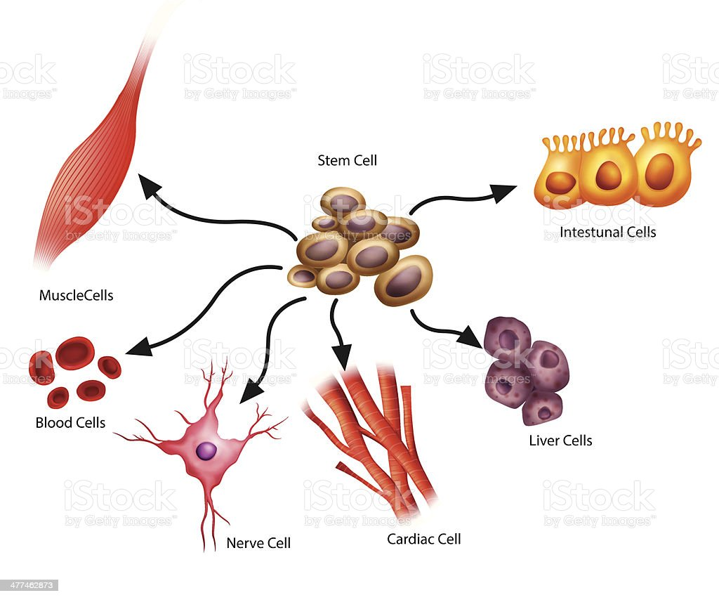 Stem Cells royalty-free stock vector art