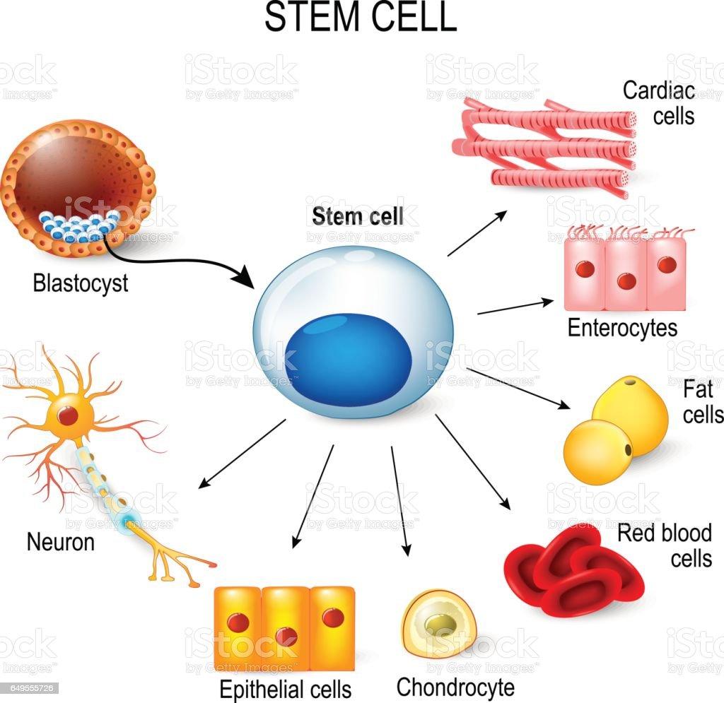 stem cells vector art illustration