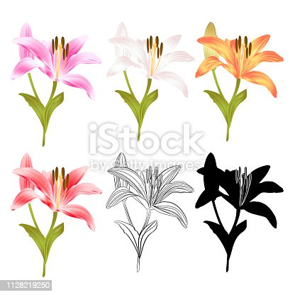 Stem Lily flower yellow white pink yellow red outline and silhouette Lilium candidum, on a white background  vintage vector illustration editable