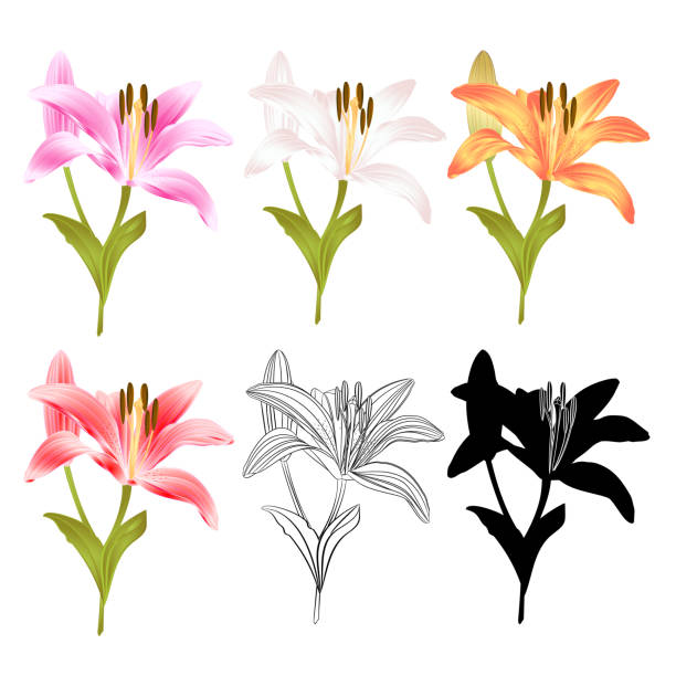 Stem Lily flower yellow white pink yellow red outline and silhouette Lilium candidum, on a white background  vintage vector illustration editable Hand draw Stem Lily flower yellow white pink yellow red outline and silhouette Lilium candidum, on a white background  vintage vector illustration editable water lily stock illustrations