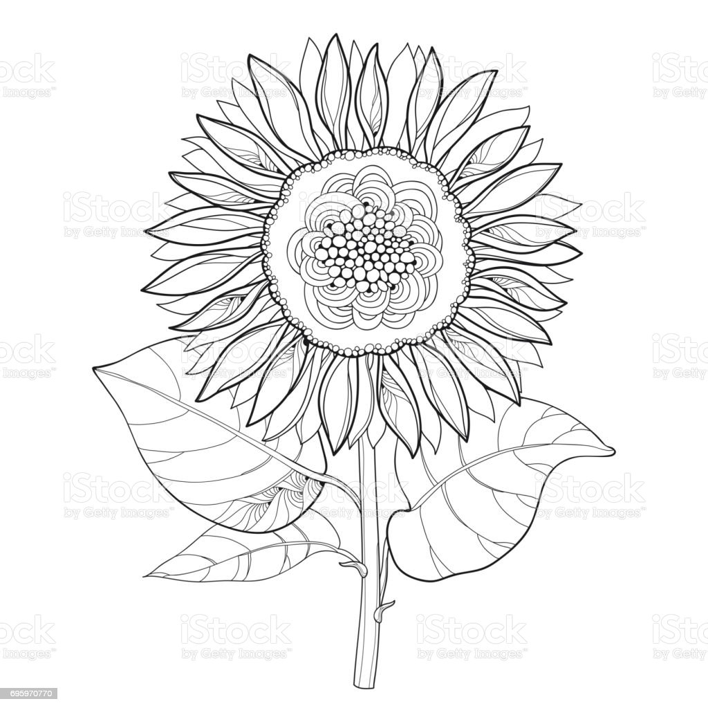 Stem With Outline Open Sunflower Or Helianthus Flower And ...