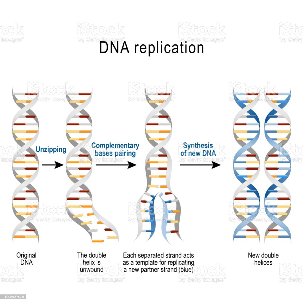 Steps Of Dna Replication Stock Vector Art & More Images of Adenine ...