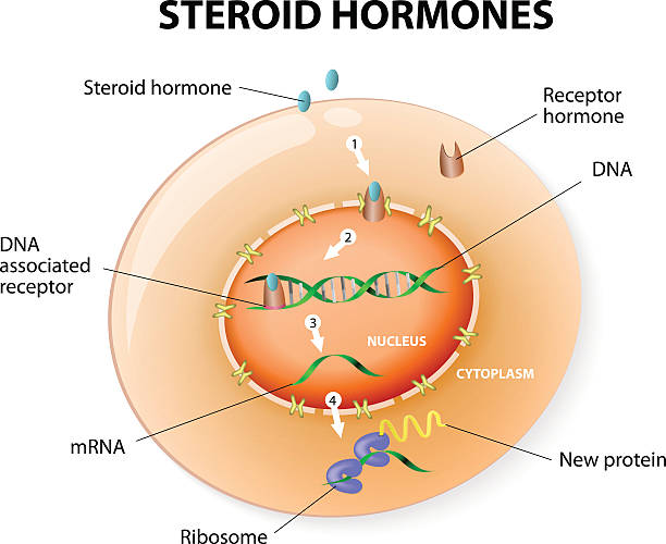 Steroid hormones response. Vector How work steroid hormones response. Steroids Bind to an intracellular receptor. this complex activates gene transcription, cause a protein to be manufactured. Vector diagram hormone stock illustrations