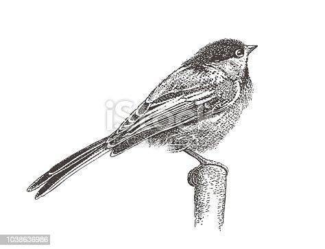 Stipple illustration of a Chickadee perching