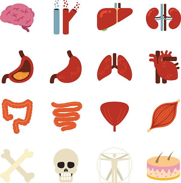 Stock Vector Illustration: Human organs Stock Vector Illustration: Human organs human muscle stock illustrations