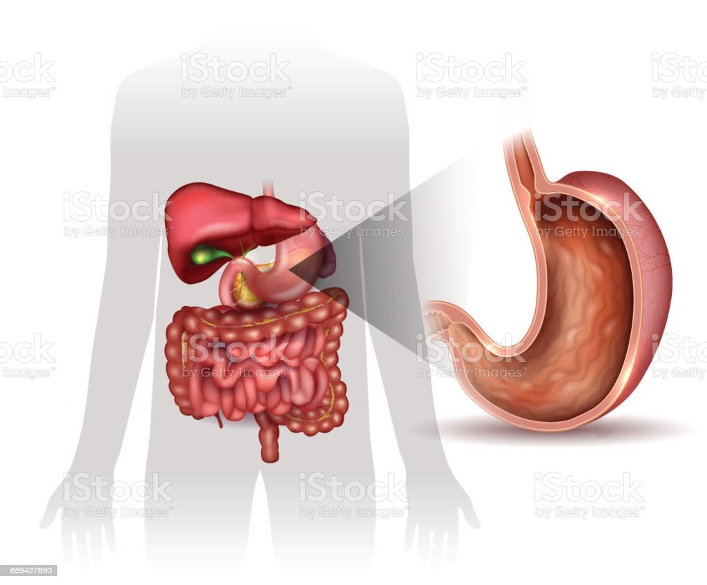 Stomach Cross Section Anatomy And Surrounding Organs Stock Vector ...