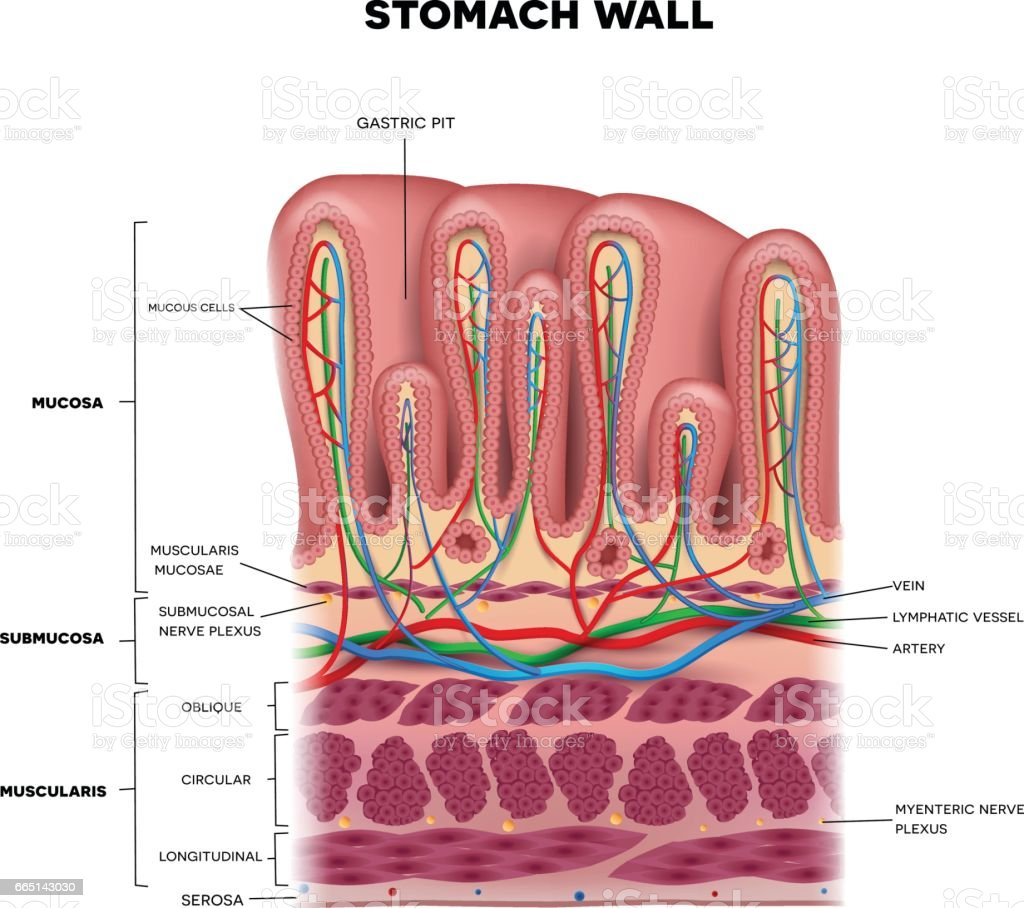 stomach wall layers detailed anatomy vector id665143030