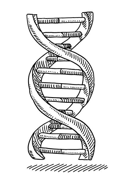 DNA Strand Genetics Symbol Drawing Hand-drawn vector drawing of a DNA Strand Genetics Symbol. Black-and-White sketch on a transparent background (.eps-file). Included files are EPS (v10) and Hi-Res JPG. helix model stock illustrations