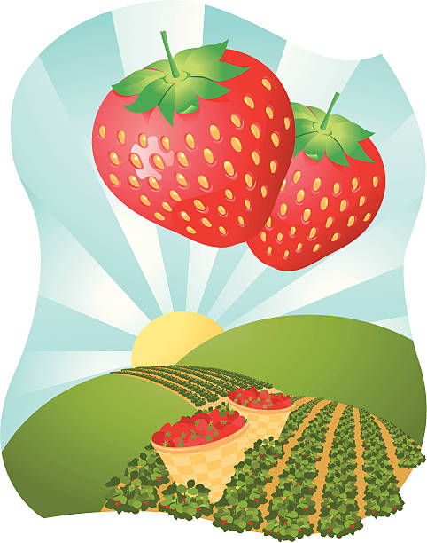Strawberry fields Strawberries and fields over rolling hills with baskets and sunshine strawberry field stock illustrations
