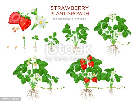 istock Strawberry plant growing stages from seeds, seedling, flowering, fruiting to a mature plant with ripe red fruits - set of botanical illustrations, infographic elements in flat design isolated on white 1222926319