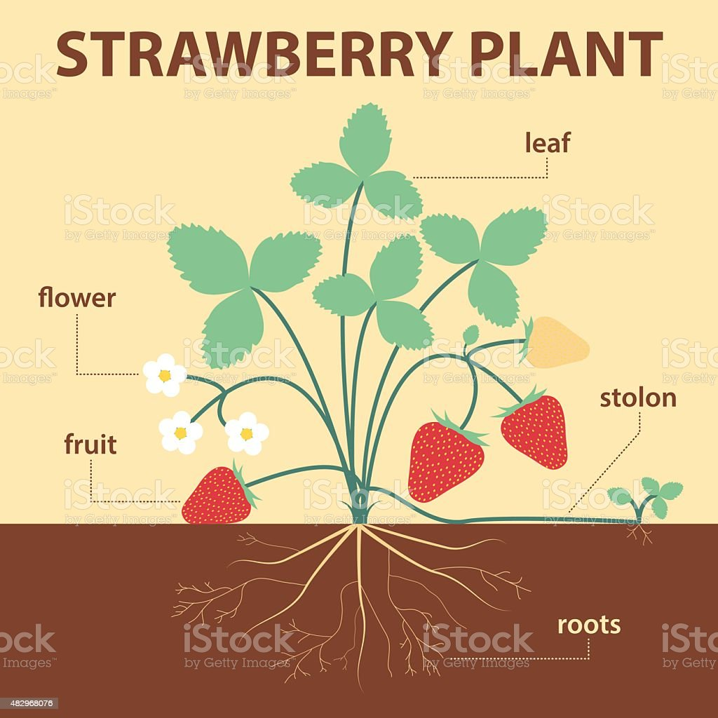 Strawberry Plant Stock Vector Art & More Images of 2015 482968076 ...