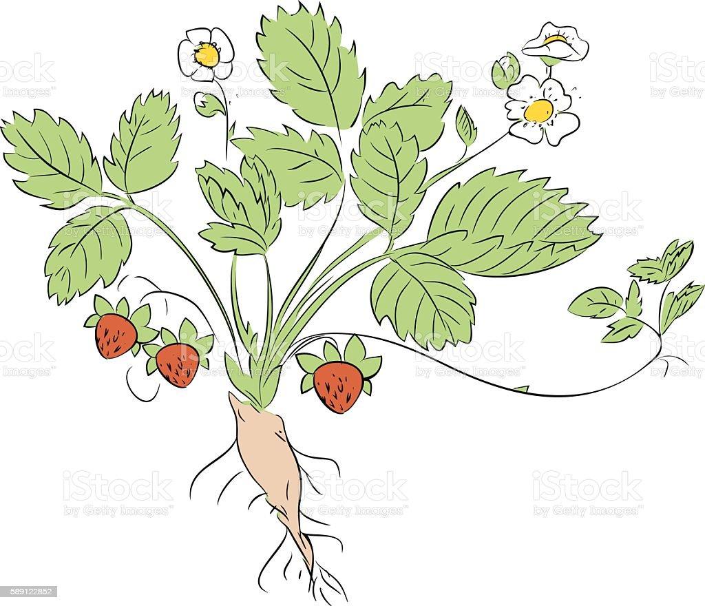Ilustración de Fresa De Planta y más banco de imágenes de ...