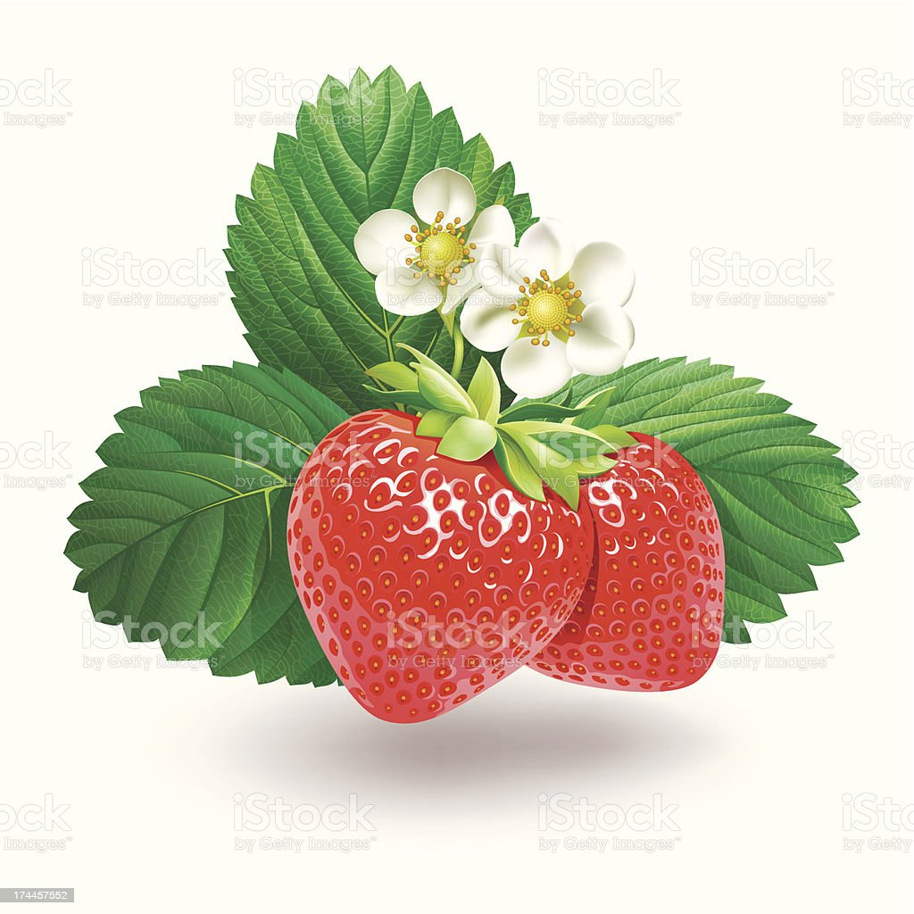 Strawberry with leaves and flowers. vector art illustration