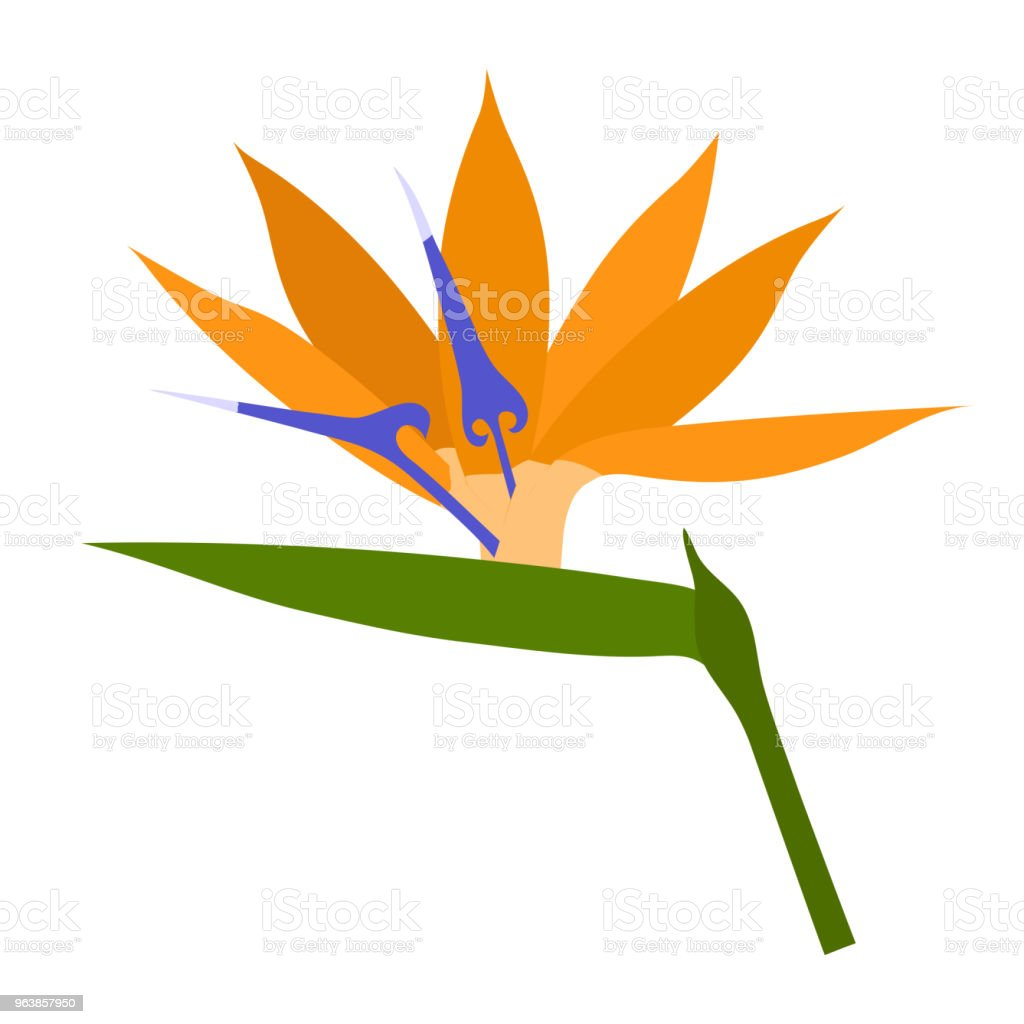 Strelitzia flower. Isolated on white background. Vector illustration. - Royalty-free Beauty stock vector
