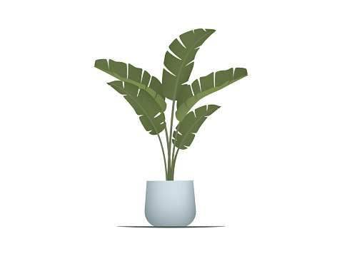 Strelitzia or Banana Plam planted ceramic pot on withe background
