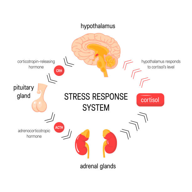 Stress response system. Vector endocrine medical diagram Stress response system. Endocrine medical diagram. Vector infographic in simple flat style. hormone stock illustrations