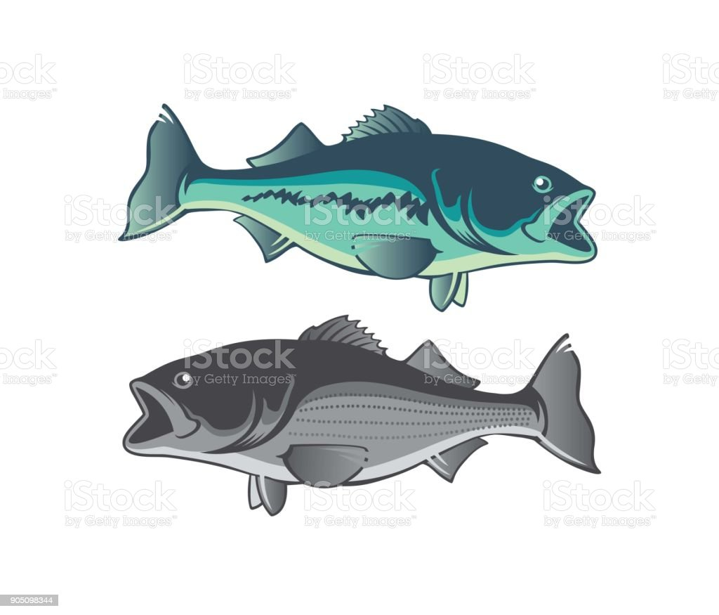 striped bass vector art illustration