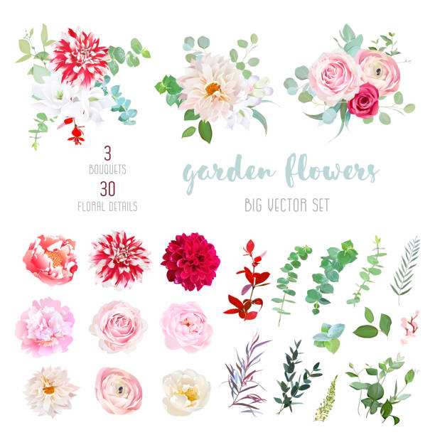 Striped, creamy and burgundy red dahlia, pink ranunculus, rose, Striped, creamy and burgundy red dahlia, pink ranunculus, rose, peony flowers and decorative plants - eucalyptus, agonis, parvifolia big vector collection. All elements are isolated and editable. bunch stock illustrations