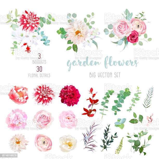 Striped, creamy and burgundy red dahlia, pink ranunculus, rose, peony flowers and decorative plants - eucalyptus, agonis, parvifolia big vector collection. All elements are isolated and editable.