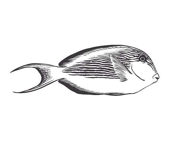 Doktorfisch Vektorgrafiken und Illustrationen - iStock