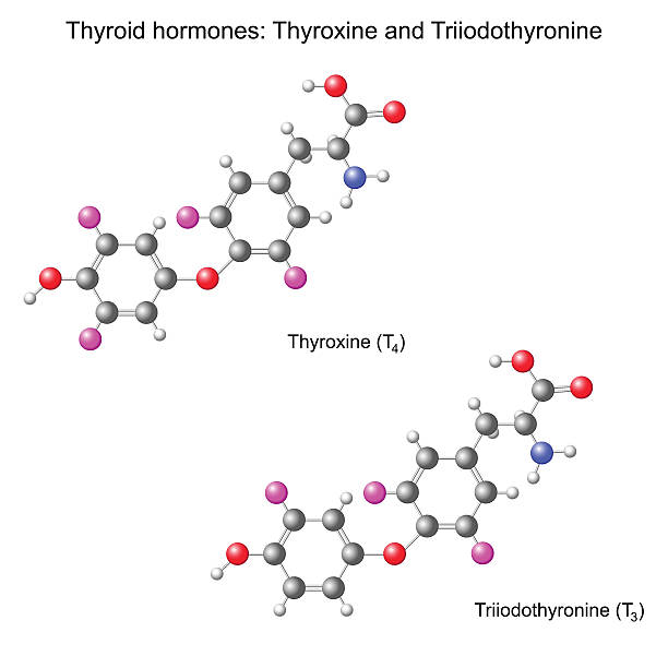 ilustraciones, imágenes clip art, dibujos animados e iconos de stock de estructuras químicas de las hormonas tiroideas modelo - thyroxine