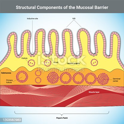 Structural Components of the Mucosal Barrier vector medical illustration