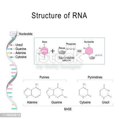 istock RNA structure. Adenine, Cytosine, uracil, Guanine, Ribose, Nucleotide, Pyrimidine, Purine, and Sugar phosphate backbone. 1146030816