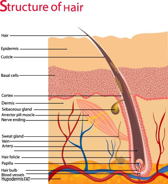Structure and cycles of hair growth on a human head under a microscope close-up. Vector illustration. Hair under the skin. Structure and cycles of hair growth on a human head under a microscope close-up. Vector illustration. Hair under the skin. human gland stock illustrations