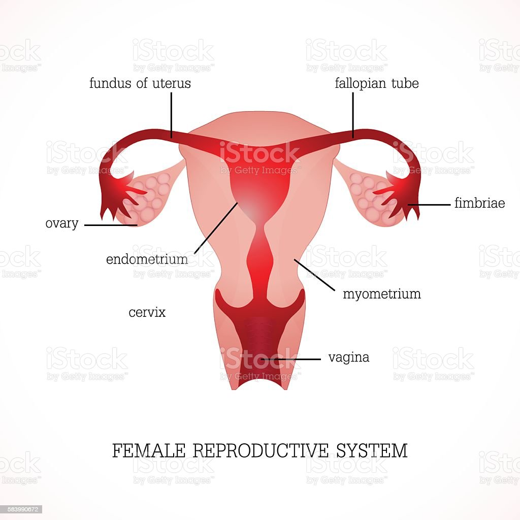 Structure And Function Of Human Female Reproductive Stock Vector Art