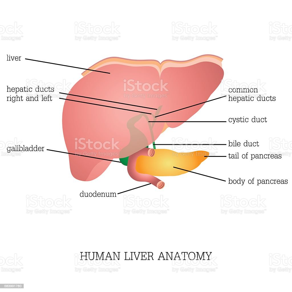 Structure and function of Human Liver Anatomy . vector art illustration
