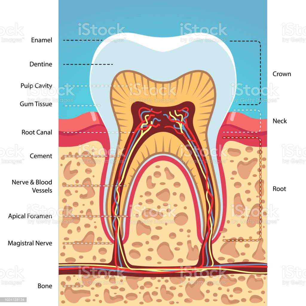 Structure cross section of grinder tooth showing enamel, dentine, pulp, nerves, root canals. Infographic poster with captions. Dentist visual aid. Flat isolated vector vector art illustration