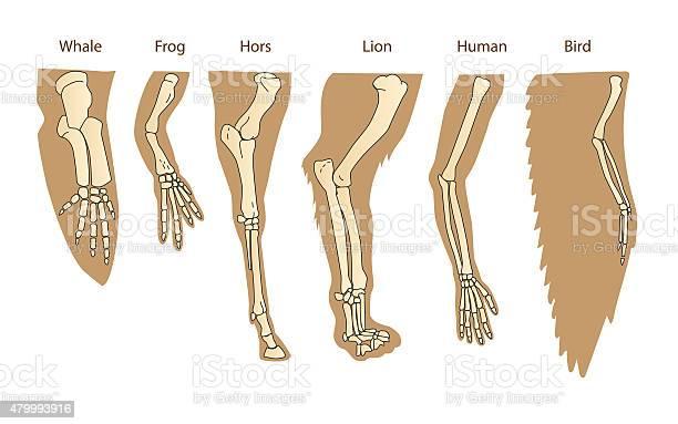 Structure forelimb of mammals human arm vector id479993916?b=1&k=6&m=479993916&s=612x612&h=evgzkm5i eitazsf yvv3xpep1w7o9buf4fhmxqlbt4=