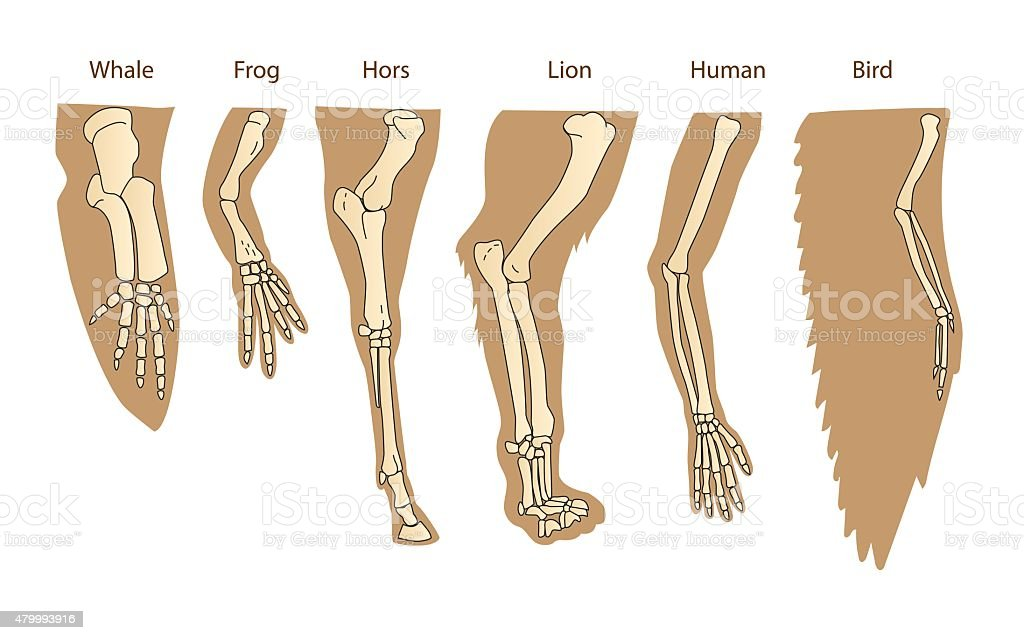 Structure Forelimb Of Mammals. Human Arm. vector art illustration