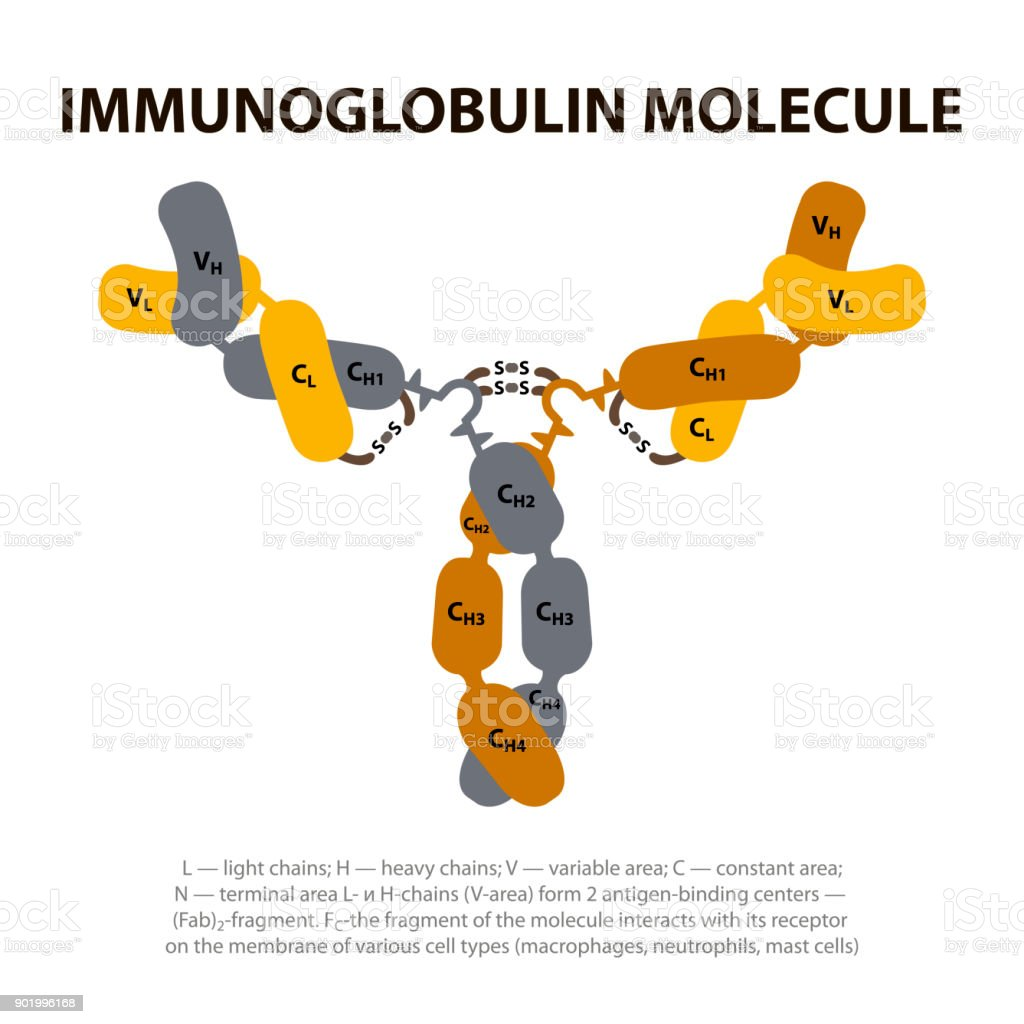 Structure Immunoglobulin Molecule. vector art illustration