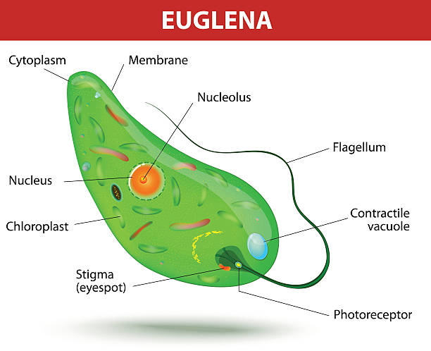Royalty Free Euglena Clip Art Vector Images Illustrations Istock