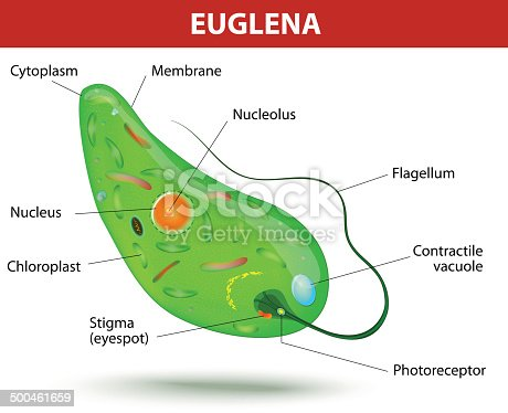 structure of a euglena stock vector art more images of. Black Bedroom Furniture Sets. Home Design Ideas
