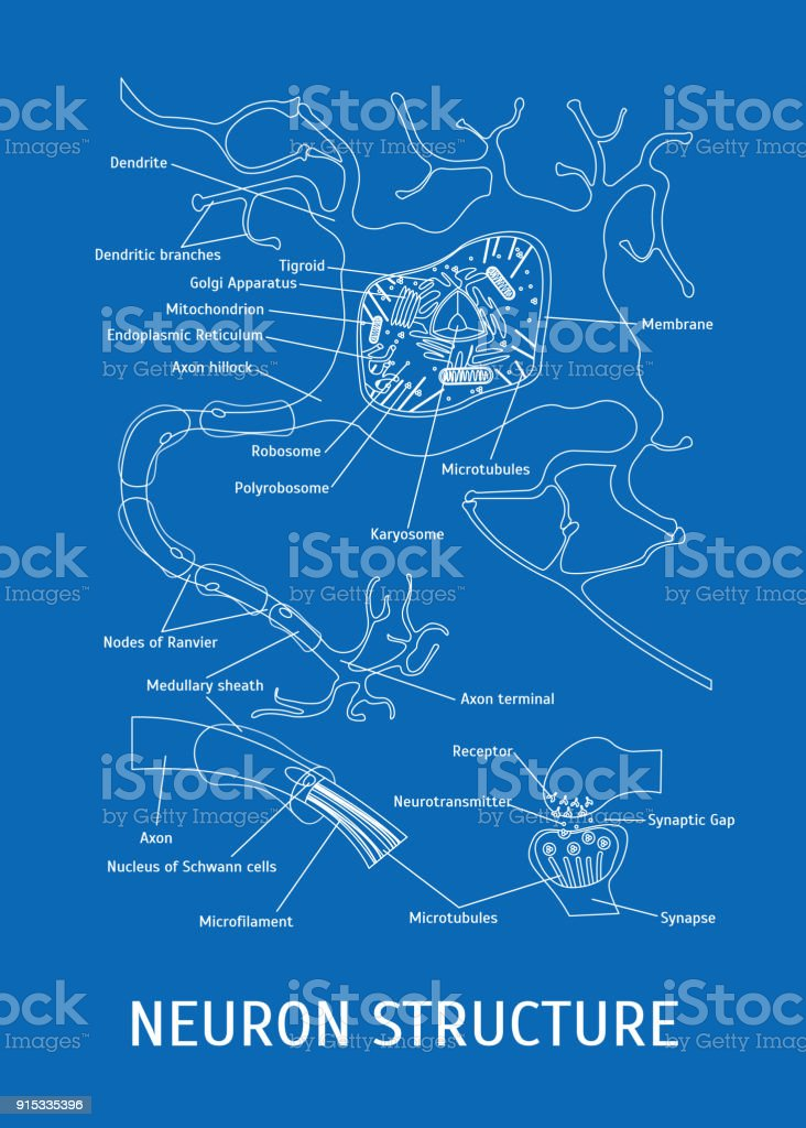 Struktur Eines Neurons Vektor Stock Vektor Art und mehr Bilder von ...