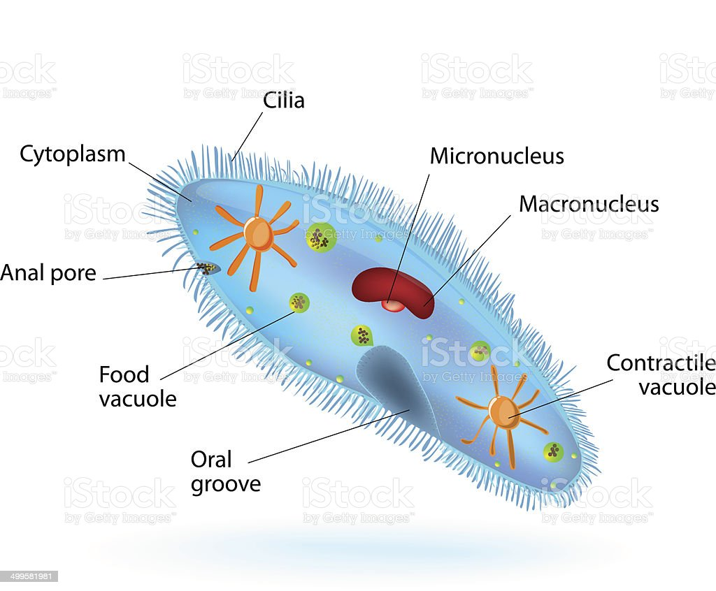 Structure of a paramecium stock vector art more images of amoeba structure of a paramecium royalty free structure of a paramecium stock vector art amp pooptronica Gallery