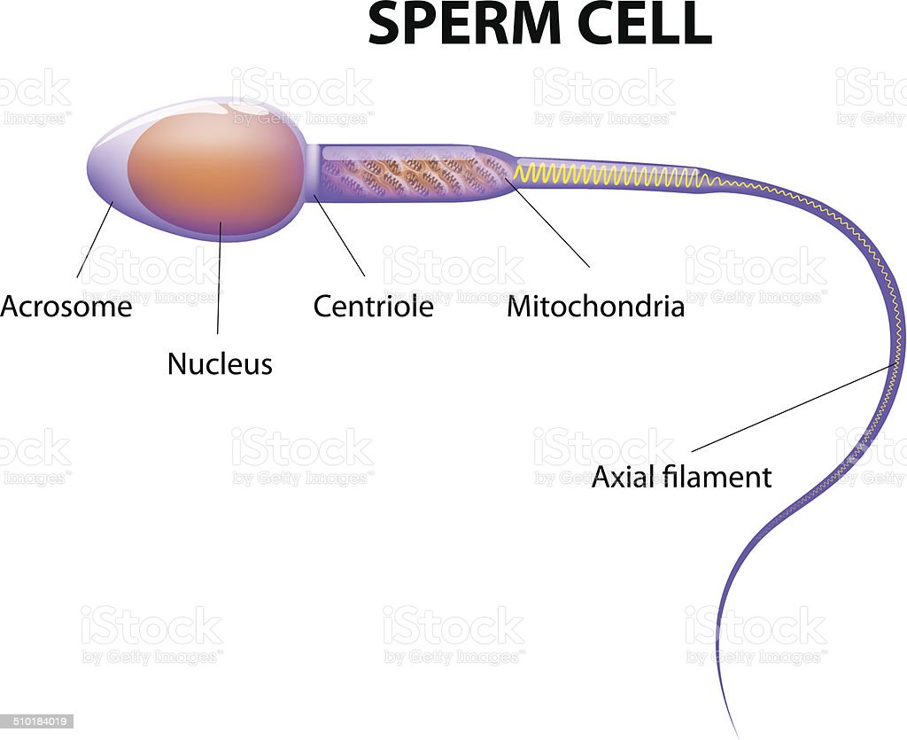 Structure Of A Sperm Cell Stock Illustration