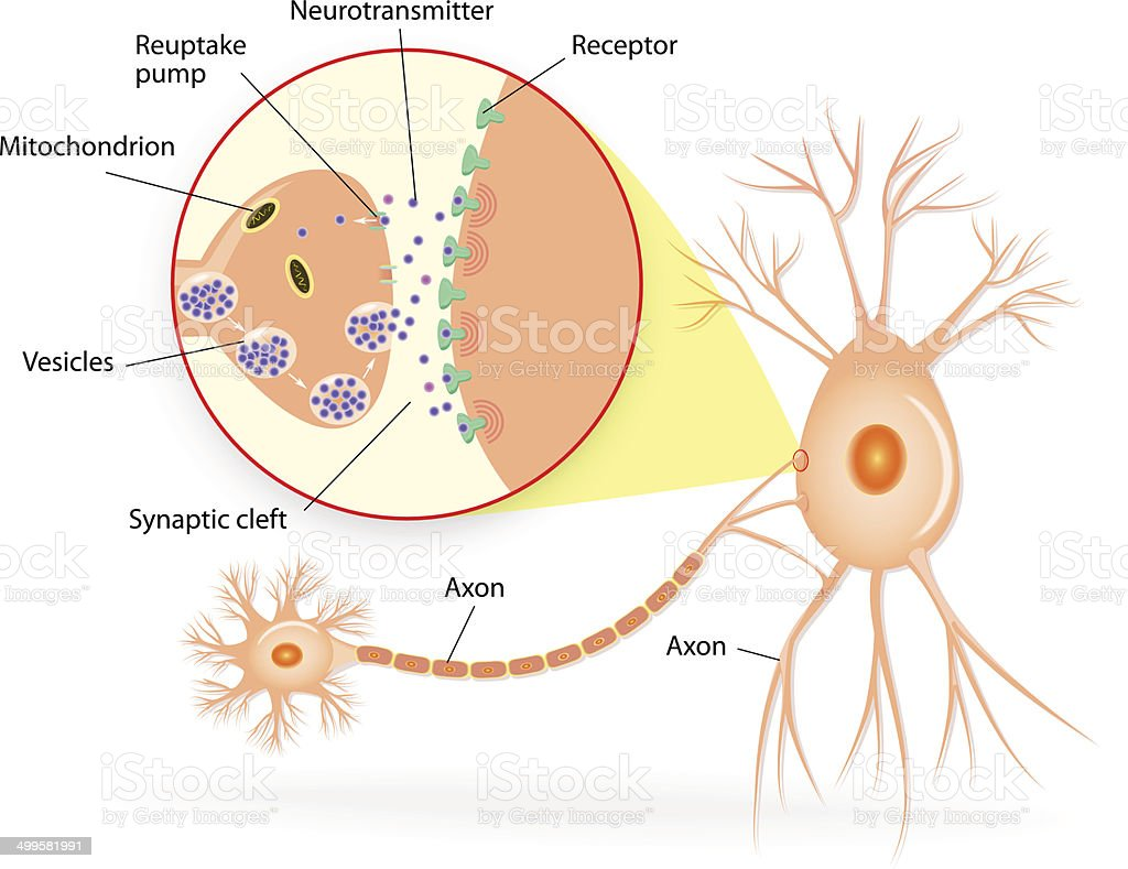 Structure of a typical chemical synapse vector art illustration