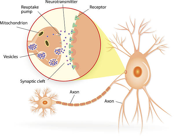 Structure of a typical chemical synapse Structure of a typical chemical synapse. neurotransmitter release mechanisms. Neurotransmitters are packaged into synaptic vesicles transmit signals from a neuron to a target cell across a synapse. Vector diagram neurotransmitter stock illustrations