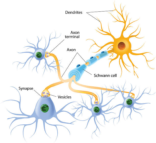 Structure of a typical chemical synapse neurotransmitter release mechanisms. Neurotransmitters are packaged into synaptic vesicles transmit signals from a neuron to a target cell across a synapse. dendrite stock illustrations