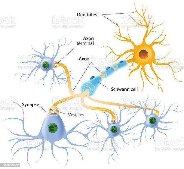 Structure Of A Typical Chemical Synapse Stock Illustration - Download Image Now