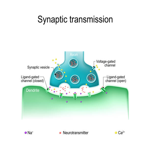 Structure of a typical chemical synapse Synaptic transmission. Structure of a typical chemical synapse. Neurotransmitter release mechanisms. Neurotransmitters are packaged into synaptic vesicles transmit signals from a neuron to a target cell. neurotransmitter stock illustrations