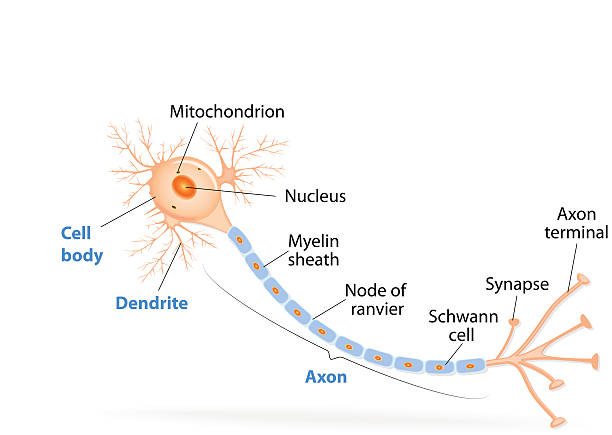 Structure of a typical neuron Anatomy of a typical human neuron (axon, synapse, dendrite, mitochondrion,  myelin  sheath, node Ranvier and Schwann cell). Vector diagram neural axon stock illustrations