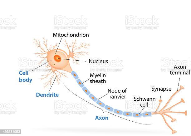 Structure Of A Typical Neuron Stock Illustration - Download Image Now