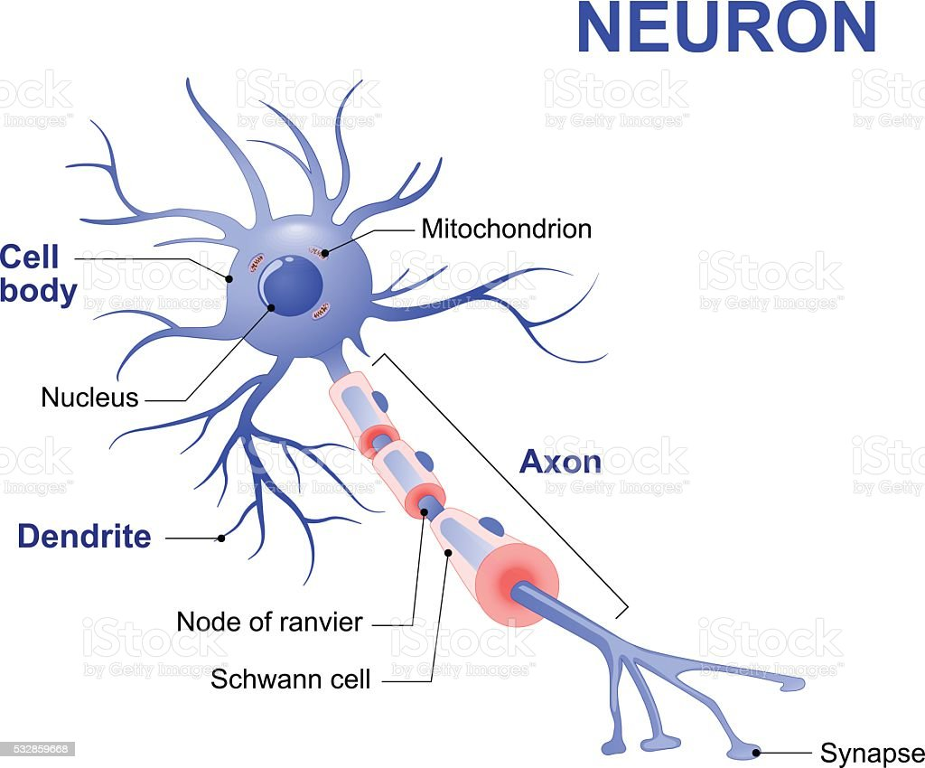 Structure of a typical neuron vector art illustration