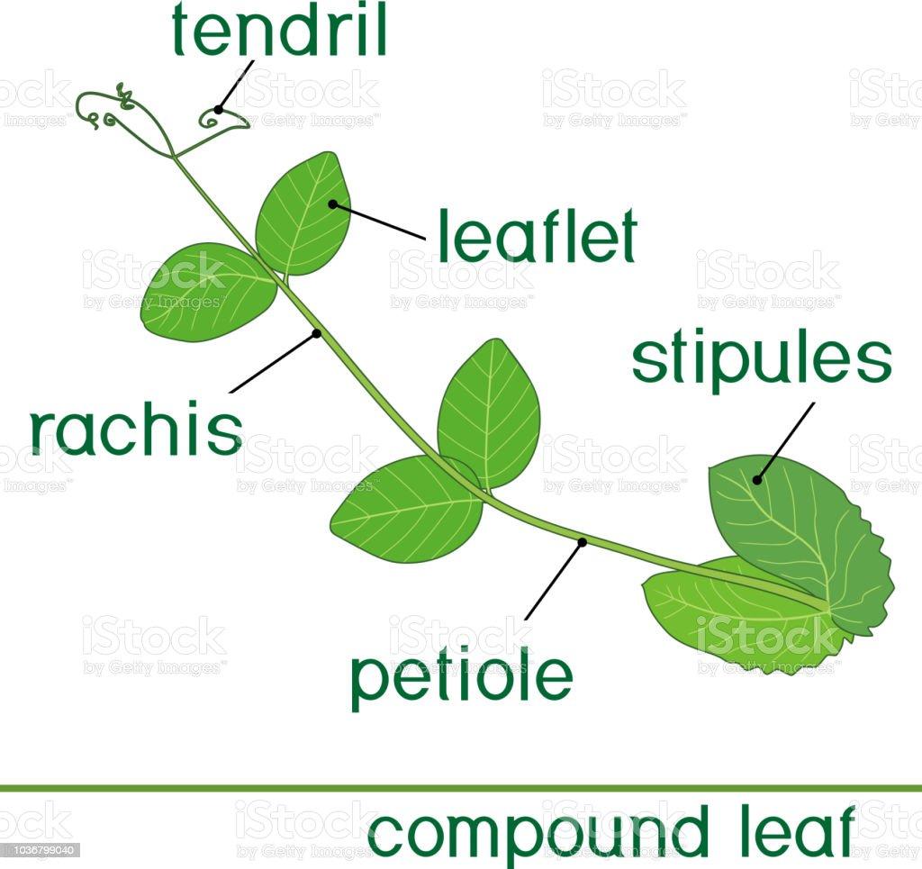 Struktur Von Zusammengesetzten Pflanze Blatt Mit Titel Grünes Blatt ...
