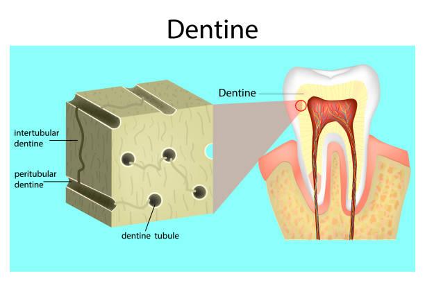 stockillustraties, clipart, cartoons en iconen met structuur van de dentine. - dentine