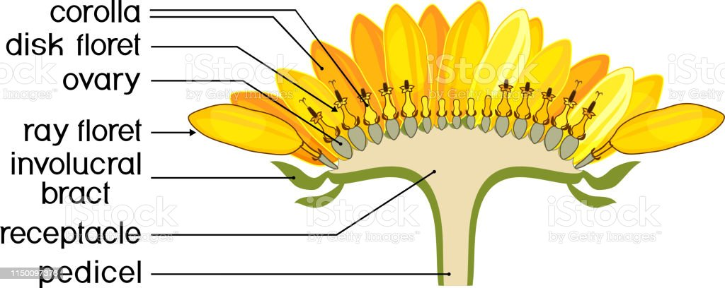 structure of flower of sunflower in cross section  diagram of flower head  or pseudanthium
